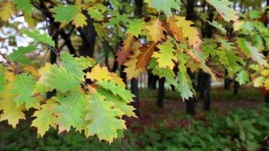 Green and yellow oak foliage — Stock Video