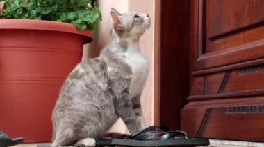 Greek grey cat sitting near the door — Vidéo