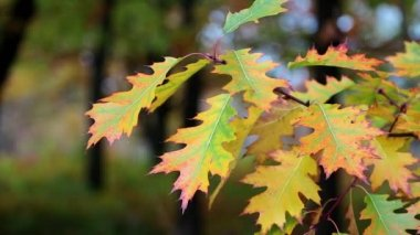 Yellow oak leafs — Stock Video