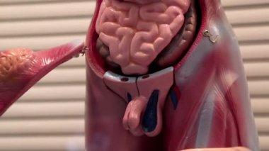 Model of human internal organs — Stock Video