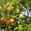 Lemon tree — Stock Video #39406871