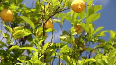 Lemon tree — Stock Video