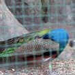 Stock Video: Peacock at zoo