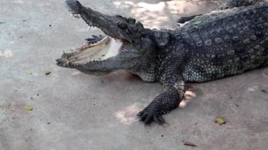 Crocodile with open mouth — Stock Video