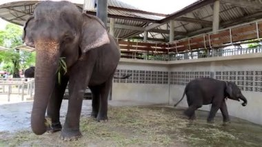 Elephants in zoological garden — Stock Video