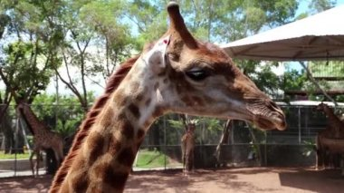 Giraffe in zoological garden — Stock Video