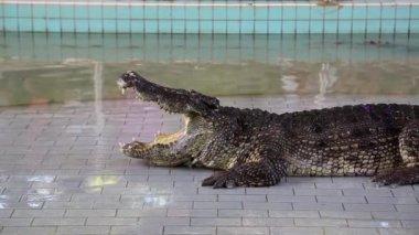 Big crocodile — Stock Video