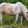 Stock Photo: Assateague Wild Pony