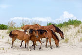 Assateague Wild Ponies on the Beach — Stock Photo