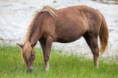 Assateague Wild Pony — Stock Photo