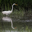 Great Egret (Ardea alba) Wading in Water — Stock Photo #44072133