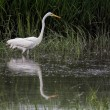 Great Egret (Ardea alba) Wading in Water — Stock Photo