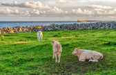 Calves on Green Grass in Ireland — Foto de Stock