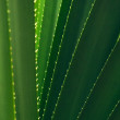 Aloe vera leaves — Stock Photo