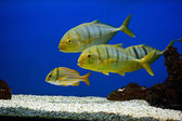 Yellow fish with black stripes — Stockfoto