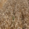 Golden Wheat field — Stock Photo #14300077