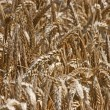 Golden Wheat field — Stock Photo #14300149