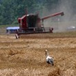 Stork in wheat field — Stock Photo #14300625