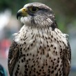 Stock Photo: Eagle hawk