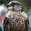 Орел ястреб — Стоковое фото