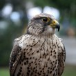 Eagle hawk — Stock Photo #14307407
