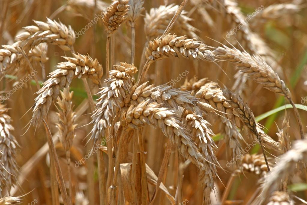 Golden Wheat field — Stock Photo #14300573