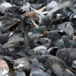 Doves on ground — Stockfoto #14311789