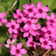Background of little pink flowers — Stock Photo
