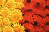Flores de gerber — Fotografia Stock