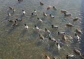Wild ducks in water of nature lake — Stock Photo