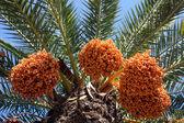 A close up of a phoenix dactylifera palm tree — Stock Photo
