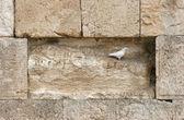 エルサレムの嘆きの壁に美しい白い鳩 — ストック写真