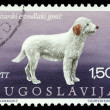 Stock Photo: Stamp printed in Yugoslavishows Istricoarse-haired hounds