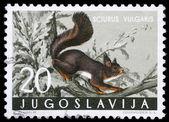 Stämpel tryckt i jugoslavien visar den röda ekorren — Stockfoto