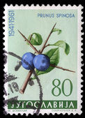 Stamp printed in Yugoslavia shows blackthorn — Stock Photo