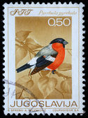 Stamp printed in Yugoslavia shows the Eurasian Bullfinch — Stock Photo