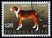 Stamp printed in Yugoslavia shows the Serbian Tricolour Hound — Stock Photo