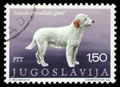 Stamp printed in Yugoslavia shows the Istrian coarse-haired hounds — Stock Photo