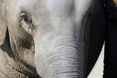 Asya fili — Stok fotoğraf