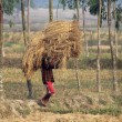 Farmer carries rice from the farm home — Stock Photo