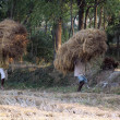 Farmer carries rice from the farm home — Stock Photo #32080729
