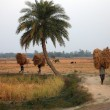 Farmer carries rice from the farm home — Stock Photo #32088311