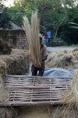 米は脱穀 winnowed — ストック写真