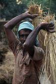 Rice is threshed-winnowed — Stock Photo