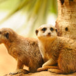 Two meercats sitting near the tree - Stock Photo