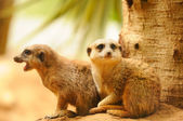 Two meercats sitting near the tree — Stok fotoğraf
