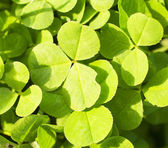Clover leaves background — Stock Photo