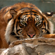 Tiger. Portrait — Stock Photo #10589695