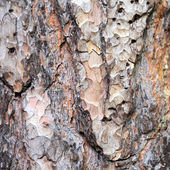 Wooden texture. Bark of pine tree. — Stock Photo