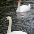 Swans on the lake — Foto Stock